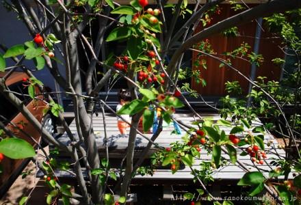 ジューンベリー収穫期
